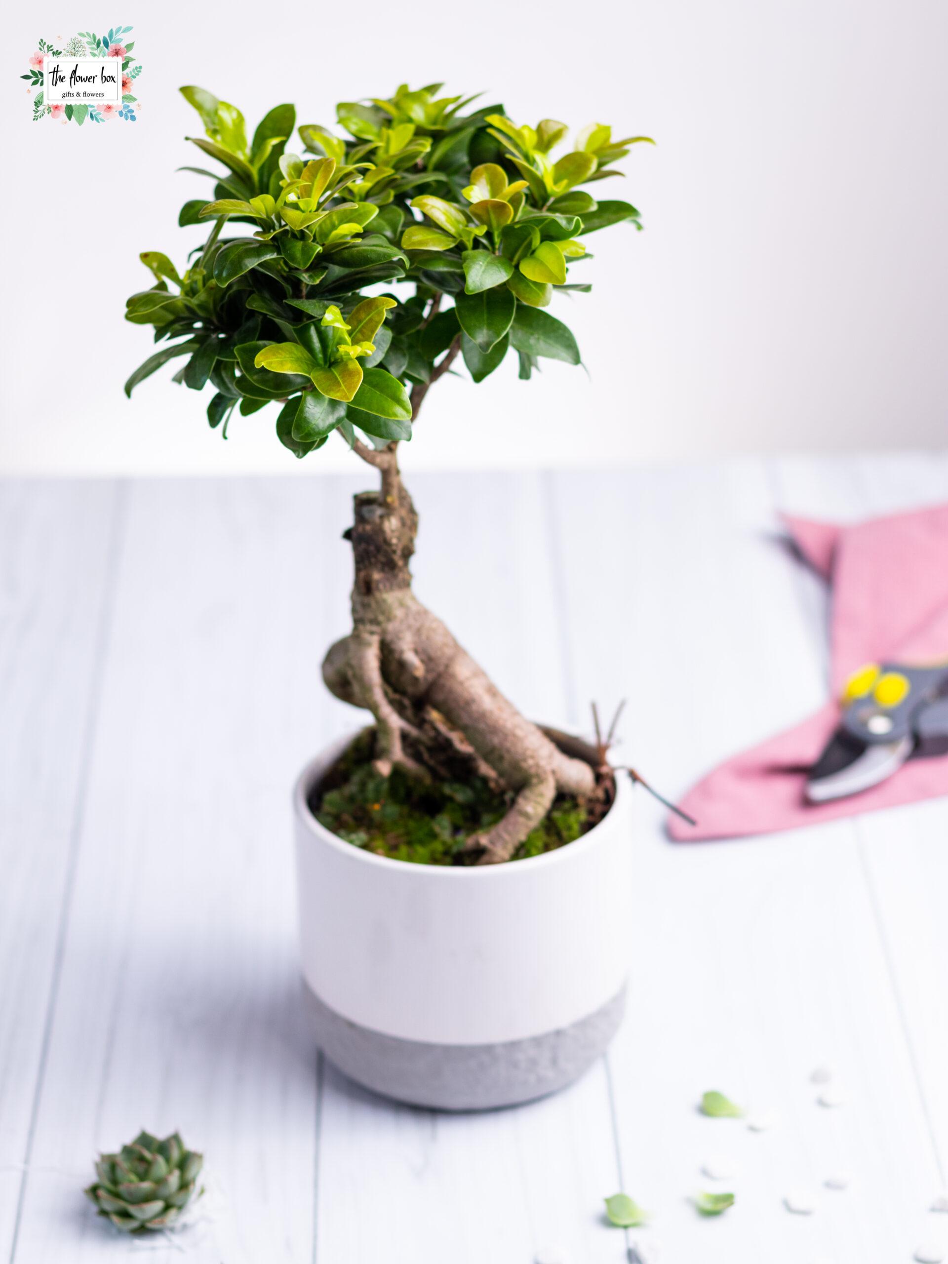 cadou bonsai si vas ceramica