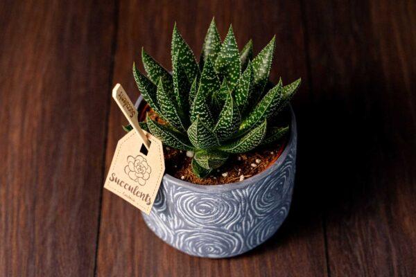 Aloe in vas de ceramica Rustic (5)