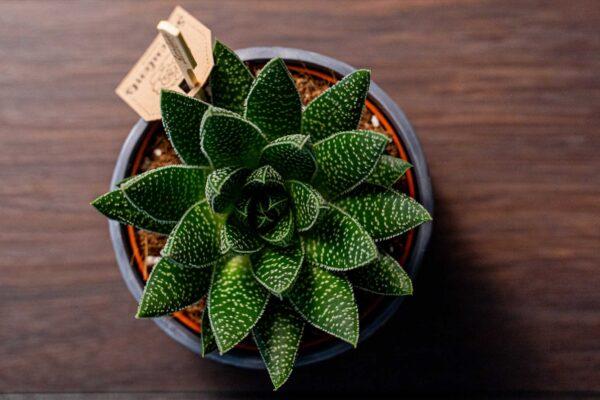 Aloe in vas de ceramica Rustic (6)