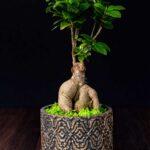 Bonsai – Ficus Ginseng (1)