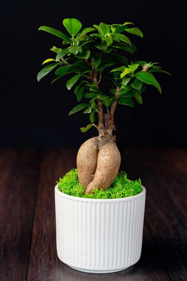 Bonsai – Ficus Ginseng (10)