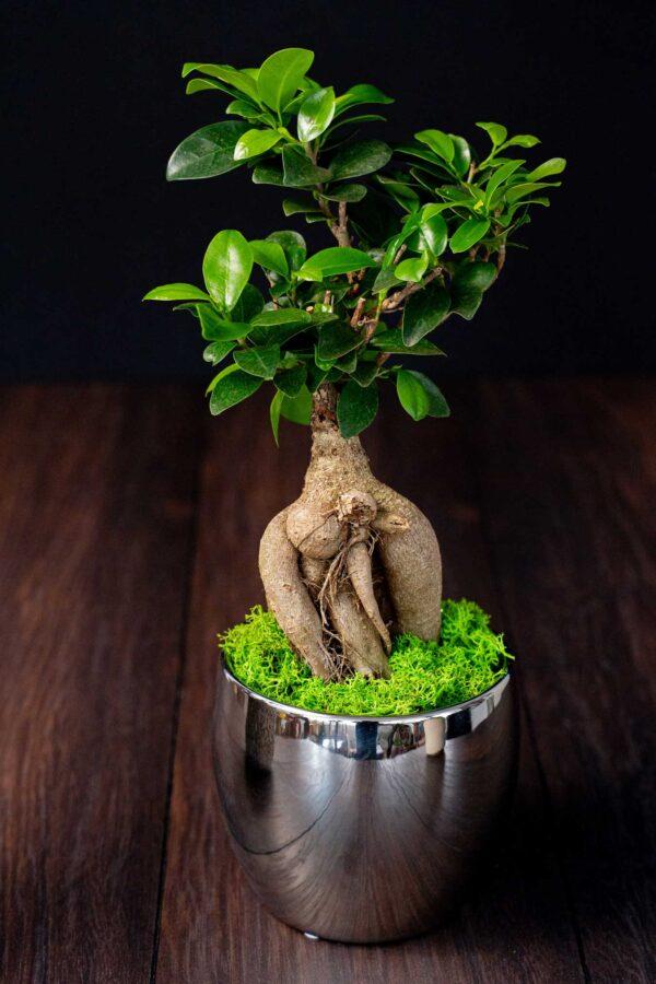 Bonsai – Ficus Ginseng (11)