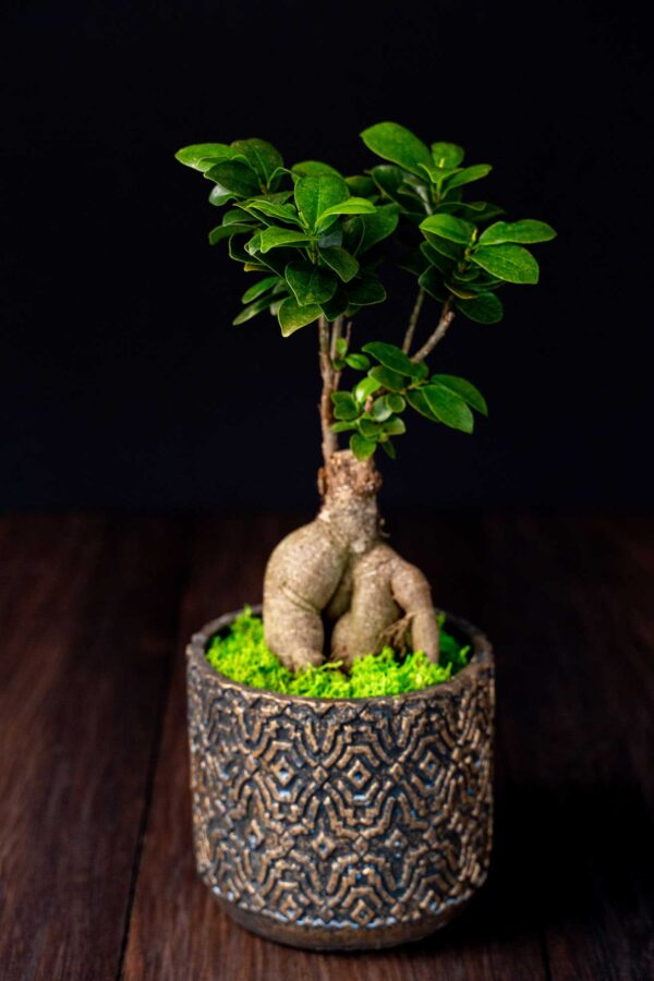 Bonsai – Ficus Ginseng (2)