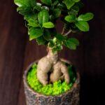 Bonsai – Ficus Ginseng (3)