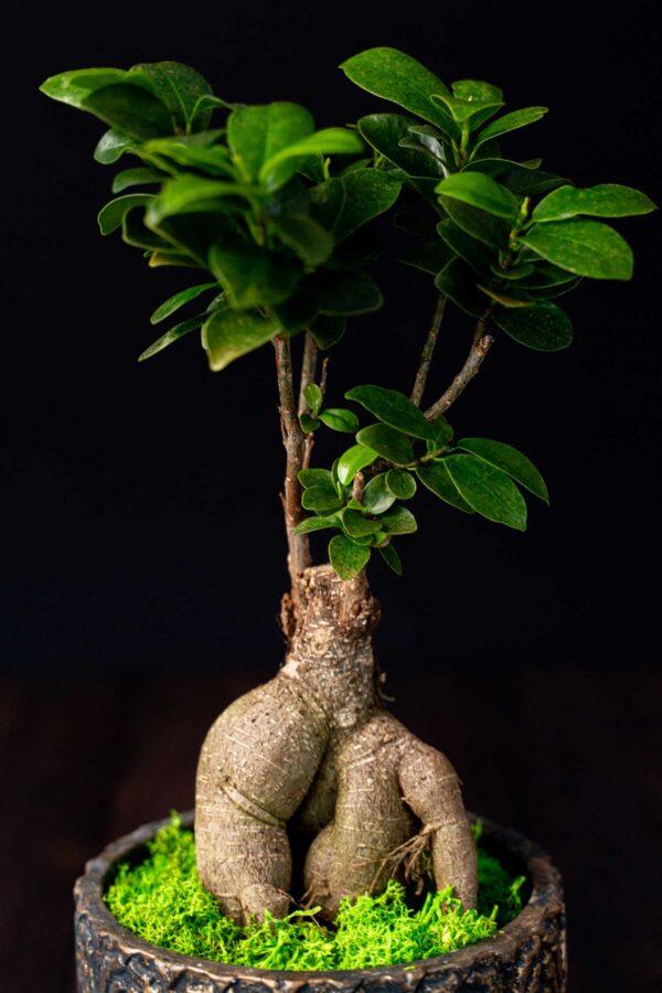 Bonsai – Ficus Ginseng (5)