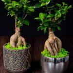 Bonsai – Ficus Ginseng (6)