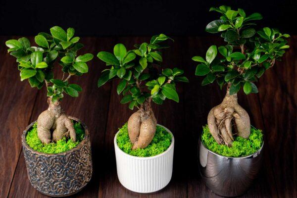 Bonsai – Ficus Ginseng (7)