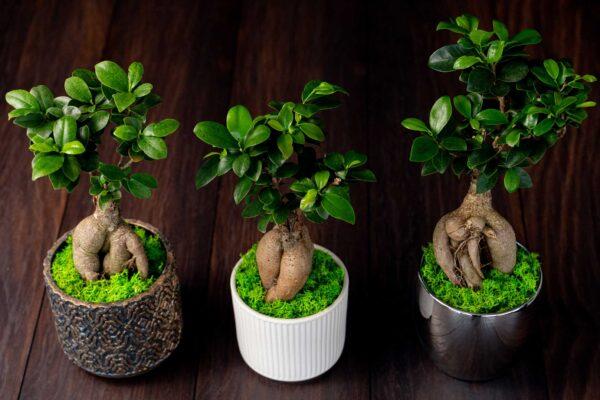 Bonsai – Ficus Ginseng (8)