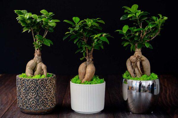 Bonsai – Ficus Ginseng (9)