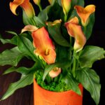 Cala – Zantedeschia Big Orange (4)
