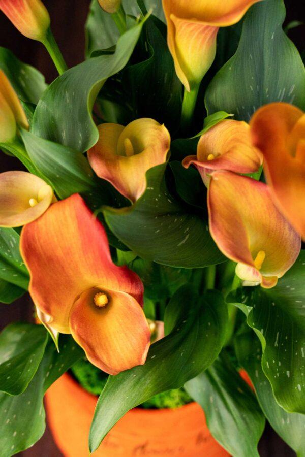 Cala – Zantedeschia Big Orange (5)
