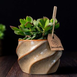 Planta suculenta Big Crassula in vas ceramica Luxury