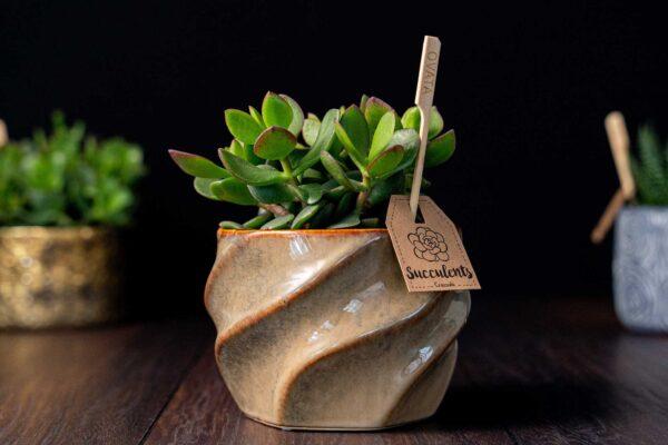 Planta suculenta Big Crassula in vas ceramica Luxury (1)