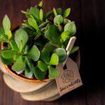 Planta suculenta Big Crassula in vas ceramica Luxury (2)
