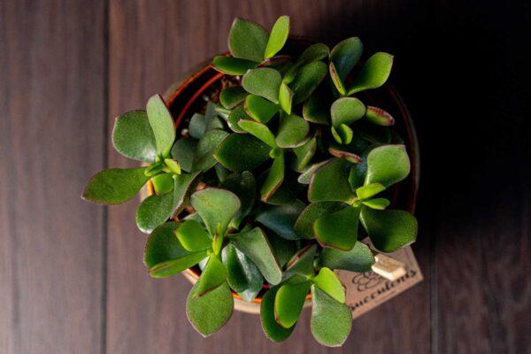 Planta suculenta Big Crassula in vas ceramica Luxury (3)