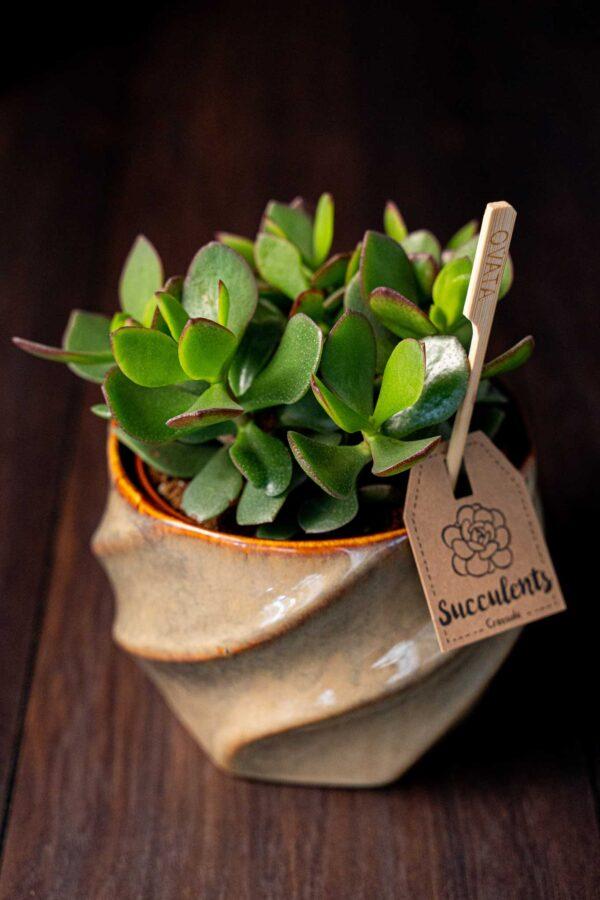 Planta suculenta Big Crassula in vas ceramica Luxury (4)