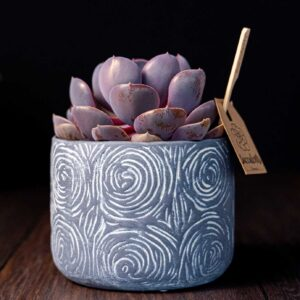 Planta suculenta Purple Big Echeveria in vas ceramica Rustic