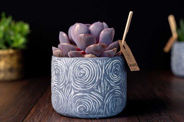 Planta suculenta Purple Big Echeveria in vas ceramica Rustic (1)