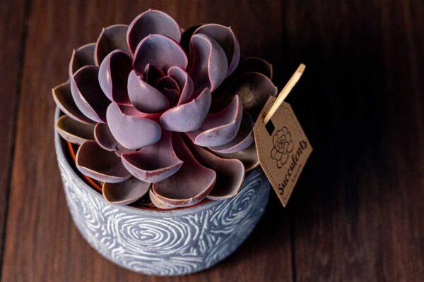 Planta suculenta Purple Big Echeveria in vas ceramica Rustic (2)