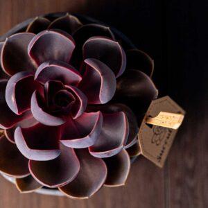 Planta suculenta Purple Big Echeveria in vas ceramica Rustic