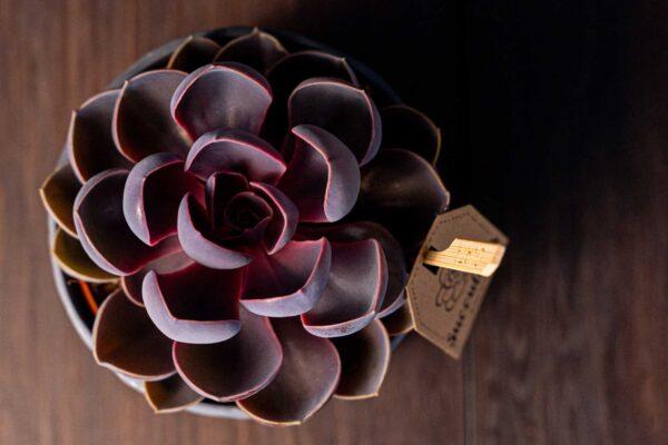 Planta suculenta Purple Big Echeveria in vas ceramica Rustic (3)