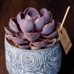 Planta suculenta Purple Big Echeveria in vas ceramica Rustic (4)