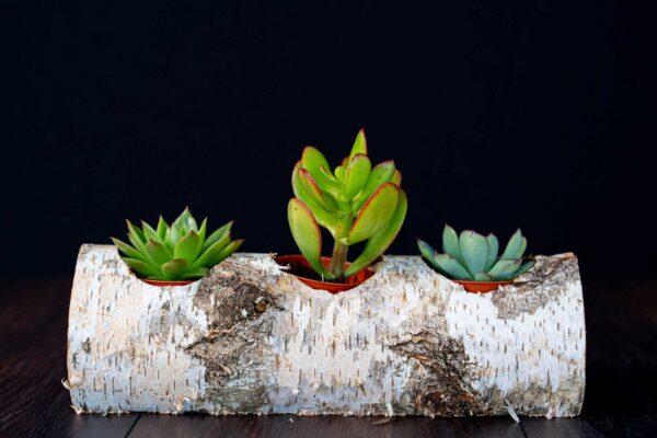 Plante suculente in Mesteacan (1)