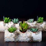 Plante suculente in Mesteacan