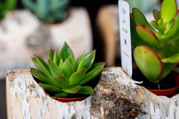 Plante suculente in Mesteacan (11)