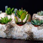 Plante suculente in Mesteacan (12)