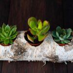Plante suculente in Mesteacan (2)