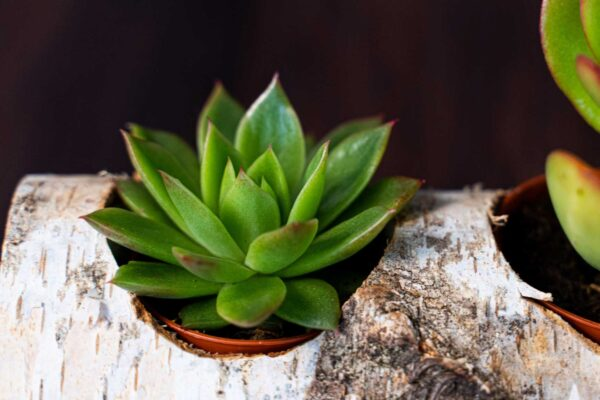 Plante suculente in Mesteacan (3)
