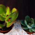 Plante suculente in Mesteacan (4)