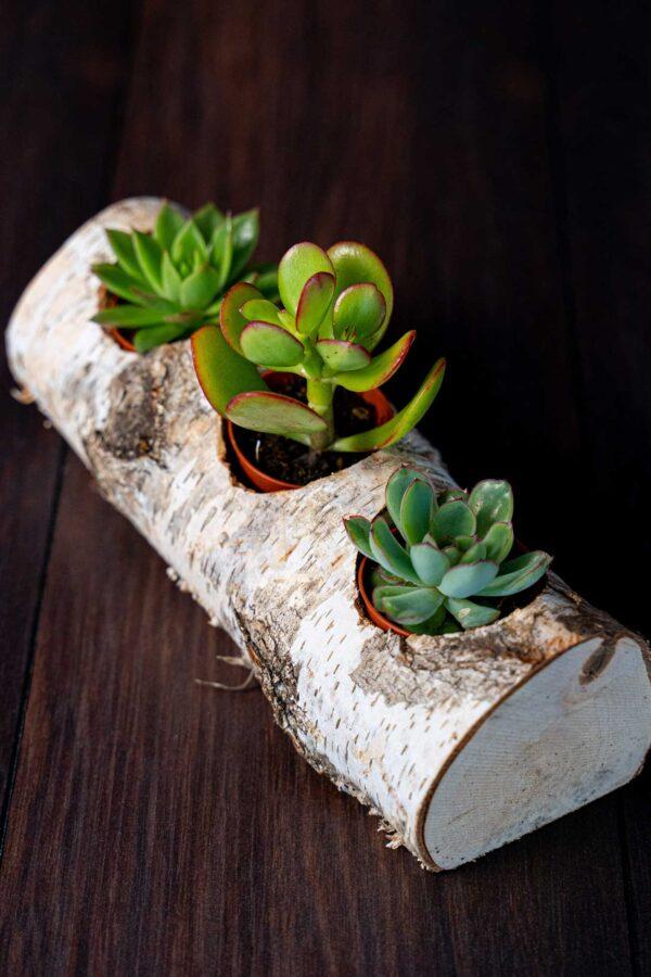 Plante suculente in Mesteacan (5)