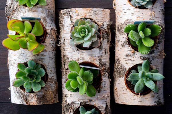 Plante suculente in Mesteacan (7)