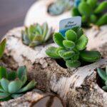 Plante suculente in Mesteacan (8)