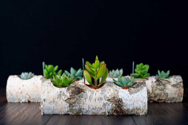 Plante suculente in Mesteacan (9)
