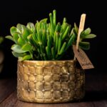 Terariu Triple Crassula in vas de ceramica Elegance (1)
