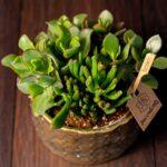 Terariu Triple Crassula in vas de ceramica Elegance (3)