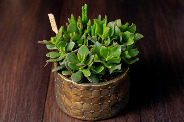 Terariu Triple Crassula in vas de ceramica Elegance (5)