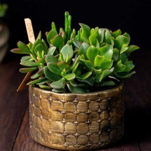 Terariu Triple Crassula in vas de ceramica Elegance