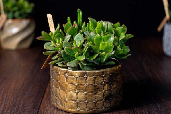 Terariu Triple Crassula in vas de ceramica Elegance (6)