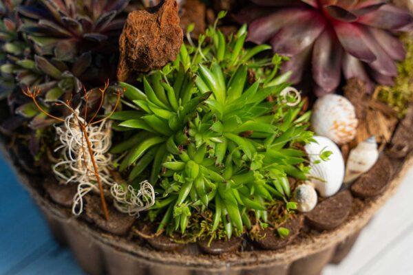 Terariu plante suculente Premium Wood