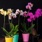 Pachet 3 x Orhidee Phalaenopsis (3 tije) + Cadou Vase ceramica