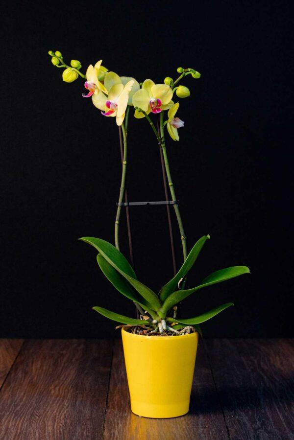 Orhidee Phalaenopsis Galbena Special + Vas ceramica