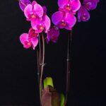 Orhidee Phalaenopsis Cyclam (3 tije) + Vas ceramica