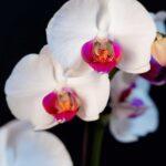 Orhidee Phalaenopsis Alba (3 tije) + Vas ceramica