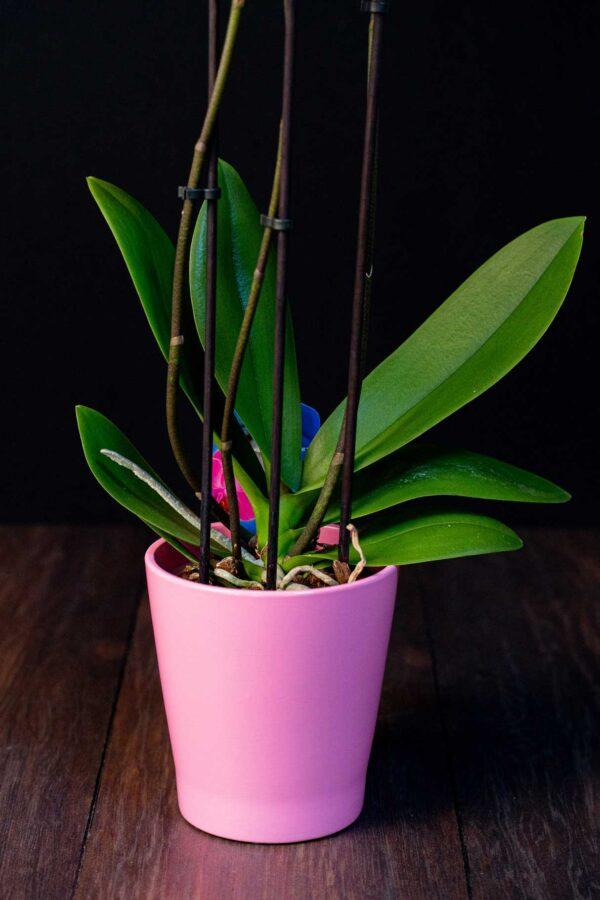 Orhidee Phalaenopsis Pink Bubbles + Vas ceramica