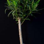 Leandru Magic 100-110 cm