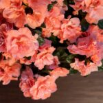 Azaleea (Rhododendron)